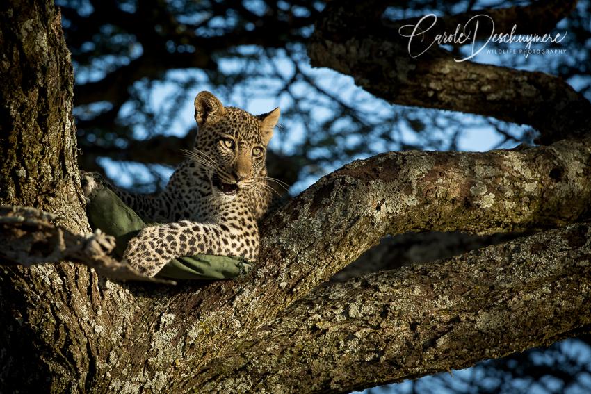 A Leopard's Tale – Part II