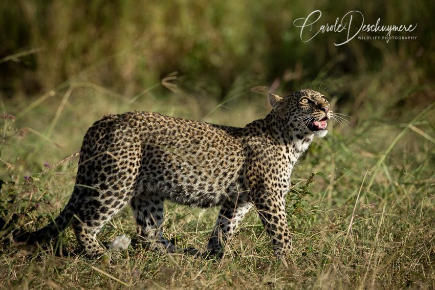 A Leopard's Tale